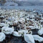 Swan invasion, Prague